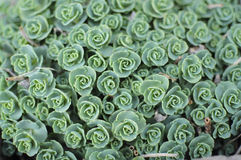 Succulent pattern Stock Images