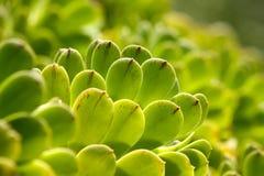Succulent pflanzt grüne Beschaffenheit Stockbild