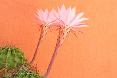 Succulent with pink flower on orange background. Succulent's pink flowers on orange background Stock Photo