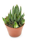 Succulent plant Royalty Free Stock Photos