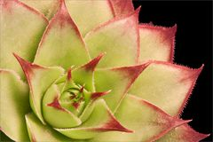 Succulent plant. Macro of green succulent plant royalty free stock images