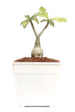 Succulent plant Royalty Free Stock Photo