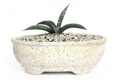 Succulent plant Stock Photography