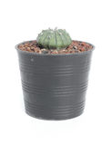 Succulent plant Royalty Free Stock Image