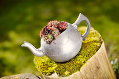 Succulent Plant. In a Silver Teapot stock photography