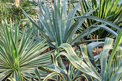 Succulent plant agave Stock Photography