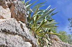 Succulent plant agave Stock Photos
