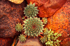 Succulent plant background. Succulent plant growing among desert stones stock photography