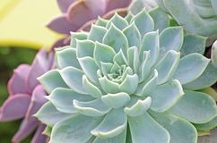 Succulent plant background Royalty Free Stock Image