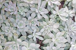 Succulent plant background stock photography
