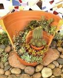 Succulent Plant in Beautiful Ceramic Pot Hens and Chick Saguaro stock photo