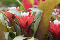Succulent plant in bloom. Colorful succulent plant in bloom Royalty Free Stock Images