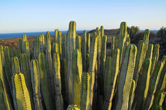 Succulent Plant Cactus on the Dry Stock Image