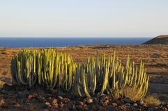 Succulent Plant Cactus on the Dry Desert Stock Photo