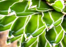 Fresh leaves detail of Agave victoriae reginae. Succulent plant close-up, fresh leaves detail of Agave victoriae reginae stock photography