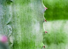 Succulent plant close-up, thorn and detail on leaves of Agave pl. Agave succulent plant, close up white wax on freshness leaves with thorn of Agave leaf stock images