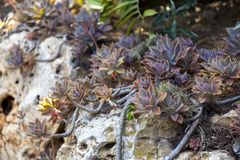 Succulent plant close up royalty free stock photo