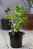 The succulent plant Crassula ovata known as Jade Plant or Money Plant in black pot. Stock Photo