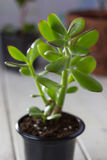 The succulent plant Crassula ovata known as Jade Plant or Money Plant in black pot. Royalty Free Stock Image