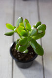 The succulent plant Crassula ovata known as Jade Plant or Money Plant in black pot. Stock Photos