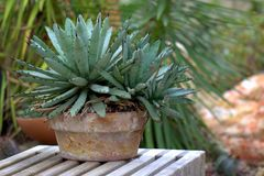 Succulent plant Crassulaceae in a terra cotta flower planter. Seen at a local botanical garden stock photography