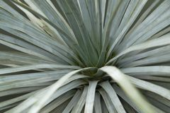 Succulent plant detail Royalty Free Stock Photography