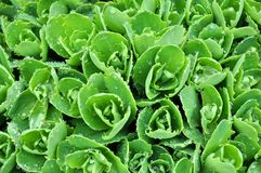 Succulent plant with dew Royalty Free Stock Photography