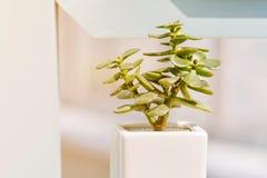 Succulent plant. Flower Plant in pot