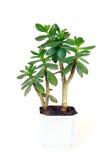 Succulent plant in flowerpot Stock Image