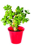 Succulent plant in flowerpot Stock Photo