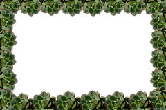 Succulent plant frame Stock Photo