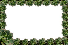Succulent plant frame Royalty Free Stock Photography