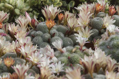 Succulent plant. In the garden Royalty Free Stock Images