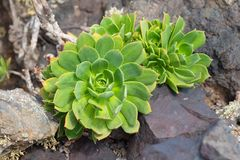Giant Houseleek Aeonium lancerottense succulent plant. Succulent plant Giant Houseleek Aeonium lancerottense growing on lava stones, Lanzarote plant species royalty free stock photography
