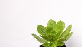 Succulent plant. A succulent plant glistening with raindrops Royalty Free Stock Photos