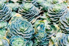 Succulent plant in green background royalty free stock image
