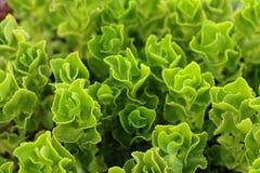 Succulent plant. Green succulent plant. Desert plant royalty free stock images