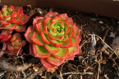 Succulent plant with green and red leaves stock photo
