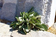 A succulent plant grows luxuriant in the archaeological site of Delos stock photos