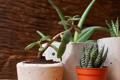 Succulent plant in handmade concrete pot in room decoration for cactus lover. Succulent plant in handmade concrete pot in room decoration royalty free stock photo