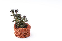 Succulent plant in homemade clay pot. Stock Images