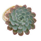 Succulent plant Royalty Free Stock Images