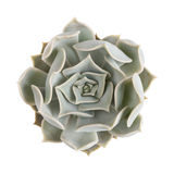 Succulent plant isolated Stock Image