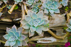Succulent plant. Leaf arrangement like a rose Royalty Free Stock Photo