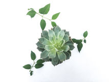 Succulent. Plant and leaves abstract over white background Royalty Free Stock Image