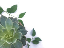 Succulent. Plant and leaves abstract over white background stock photo