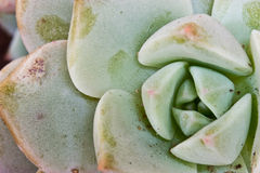 Succulent plant. Macro botany nature stock photography