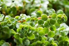 Succulent plant macro Royalty Free Stock Photos
