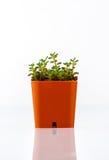Succulent plant in orange color pot Stock Photo