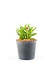 Succulent plant in plant pot Stock Photo
